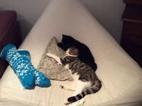 Beautiful male tabby and white cat please help