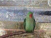 Alexandrine parrot parakeet