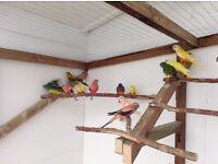 Parakeets splendids/bourke's