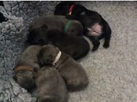 French bulldog puppys four blue girls two black one boy one girl from £1500