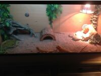 Bearded dragons and full viv
