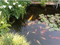Koi carp and pond fish