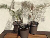 Set of 3 Bronze Fennel plants in pots from Haskins Garden Centre (Foeniculum vulgare 'Purpureum')
