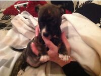 Boxer x staffy pups