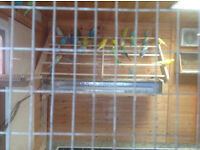 budgies and finches for sale,appox 35 budgies and 12 zebra finches