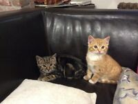 Beautiful Kittens for sale, ginger and a tabby 10 weeks old ready to go to lovely new home