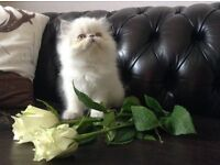 GORGEOUS MALE LILAC COLOURPOINT KITTEN (LIKES TO WATCH TV, READY NOW)