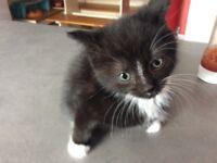 8 weeks kitten girl
