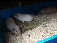 Male and female guinea pigs (collection only)
