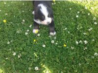 Stunning pedigree Bernese mountain dog pups for sale