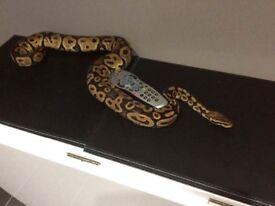 Male Pastel Python