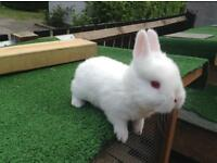 Beautiful New Zealand white baby rabbit!