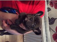 Chocolate French bulldog male for sale ready to leave Thursday 7th July kc reg 5 weeks insurance