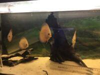 Young Pigeon Blood Discus two batches 6 months old and 8 months old see pictures and ruler for size