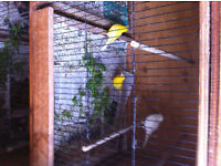 Male Canaries for sale £15 each