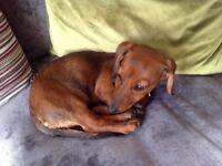 Stunning 4 month old chocolate brown female minature Dashchund