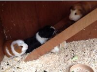 4 Guinea Pigs (all under one year) with large hutch, run and indoor cage