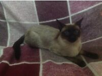 Siamese seal point cat 1 year old not kitten blue eyes active reg or pet