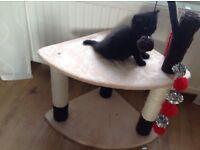 Bombay black kitten girl name is willow