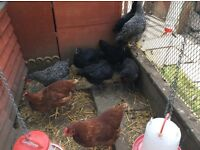 Chickens hens for sale