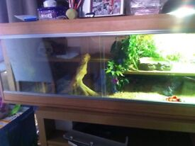One year old bearded dragon and set up
