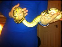 maleand female royal python with viv and heat pad