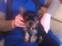 Yorkshire Terriers Mini T-Cup Puppies