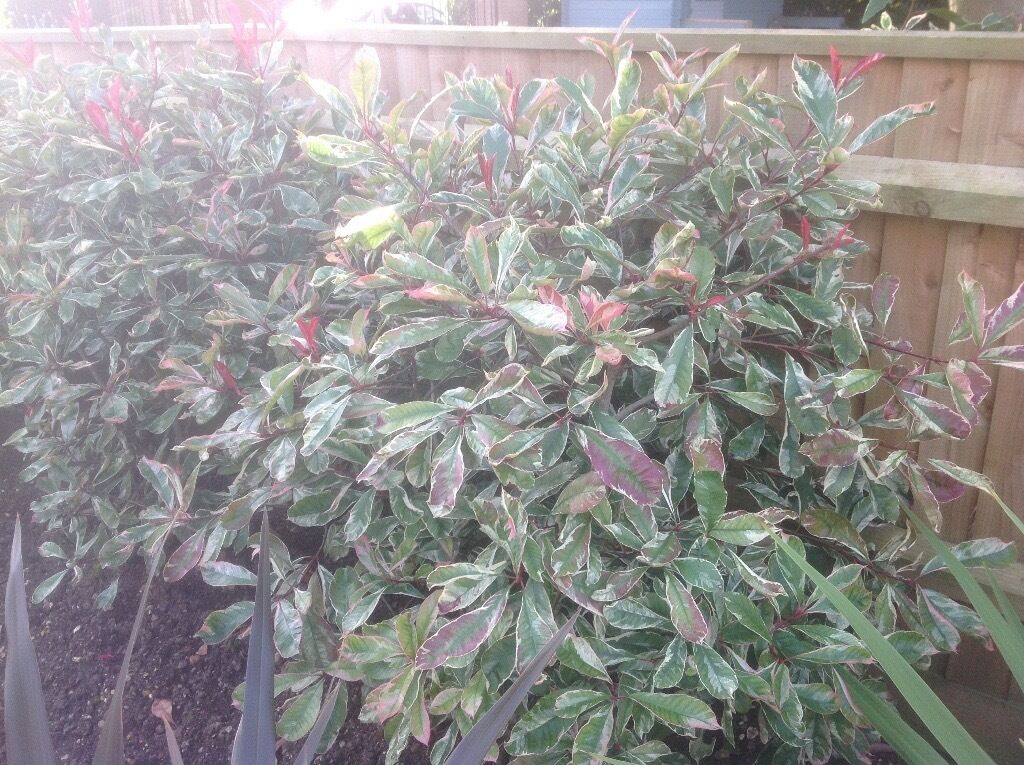 Hedging Plants Photinia Pink Marble