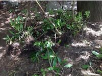 Rhododendrum bushes - free