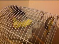 Green and yellow budgies 5months old