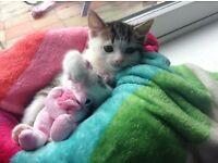 Kitten male 8 weeks old