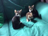 Beautiful kittens for sale Tabby Girl, Tabby Boy & Tortishell Girl