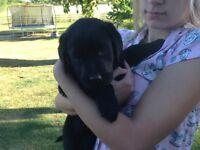 Black kc reg Labrador puppies