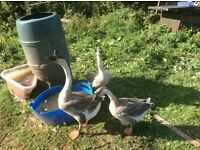 Chinese geese forsale collection only torquay