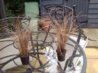 6 carex bronze evergreen ornamental grasses