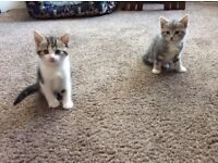Beautiful grey tabby and tabby kittens for sale