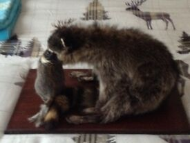 racoon with squirrel