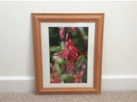 Fuschia picture in pine frame