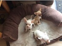 2Beautiful KC registered Chihuahua Puppies