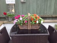 Garden Trug filled with Busy Lizzies
