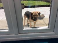 Border Terrier needs a new home