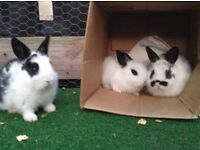 Adorable baby rabbits for sale!