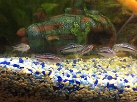 African Malawi Cichlids Fish for sale