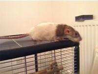 Female rat