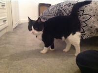 Spayed Female Cat
