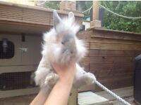 Baby angora x lop rabbits