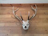 SYMETRICAL deer antlers