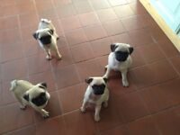 Pug puppies kc registered microchipped ready to go