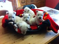 White Westighland terrier puppies