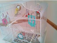 Female budgie 18 months old